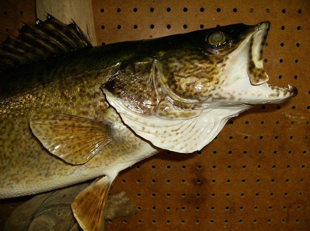 Ontario taxidermy fish mount gallery tim steen for How to taxidermy a fish